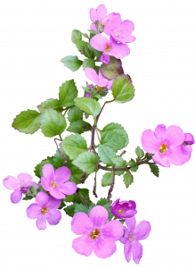 flower, pink, ground cover