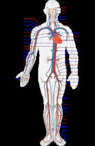 circulatory, system, labels
